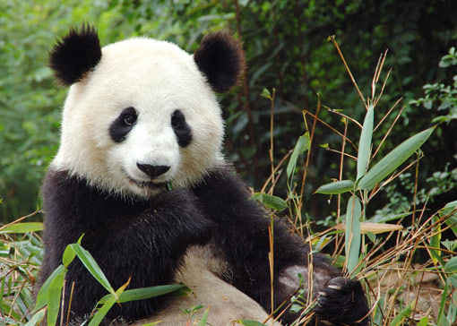 Giant-panda-china-big(1)