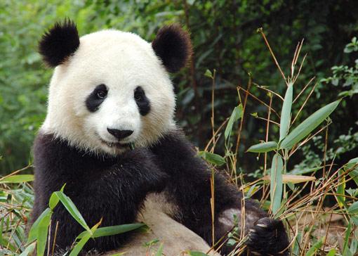 Giant-panda-china-big(1)