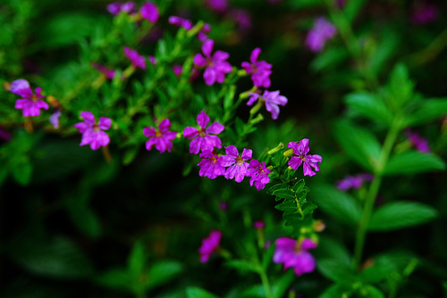 Cuphea_hyssopifolia__False_Heather__Mexican_Heather