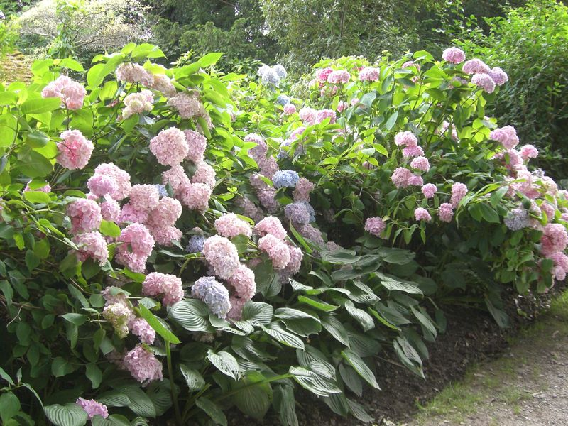 Hydrangeas medium