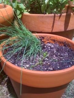 Chives cilantro