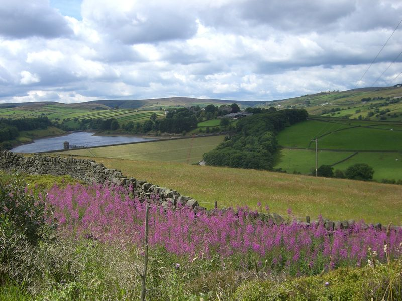 Purple moors