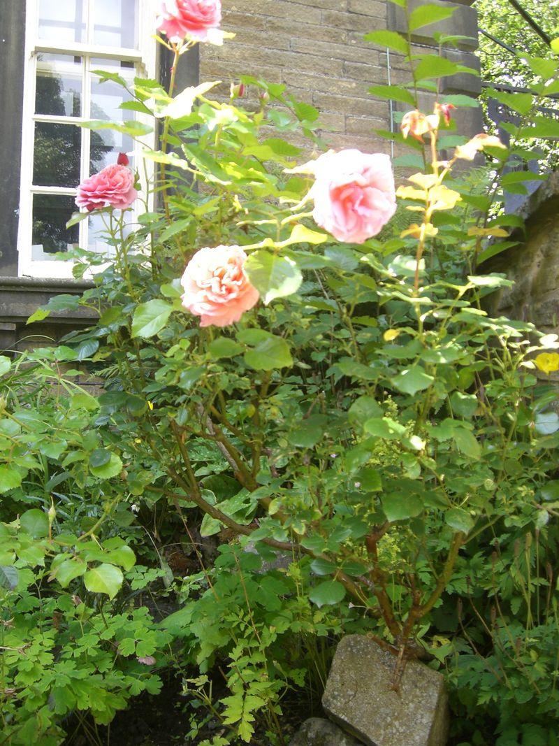 Parsonage roses