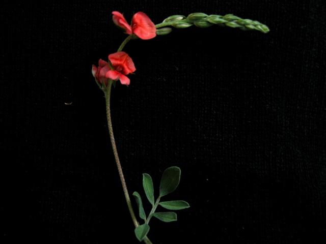 ScarletPea