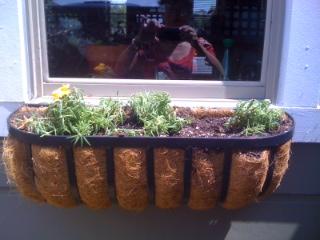 Windowbox roses
