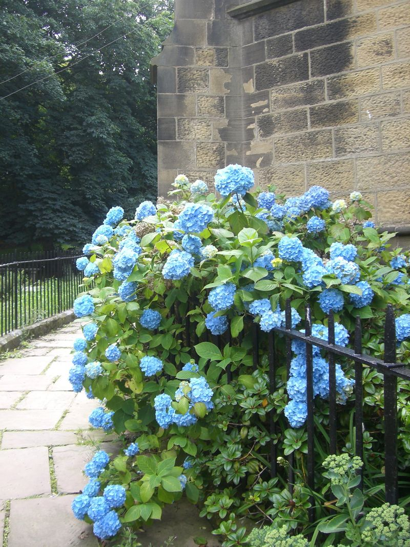 Hydrangeas bronte church