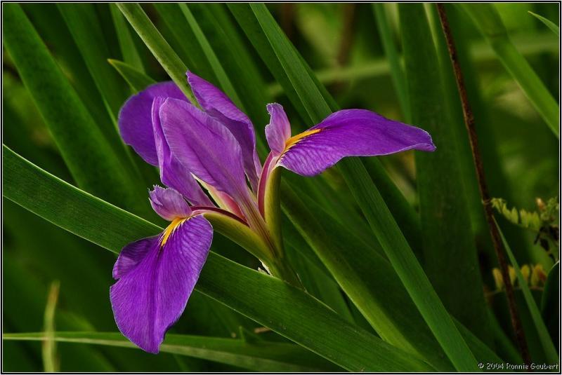 36819412.PlantFlowerWildIris4303020070